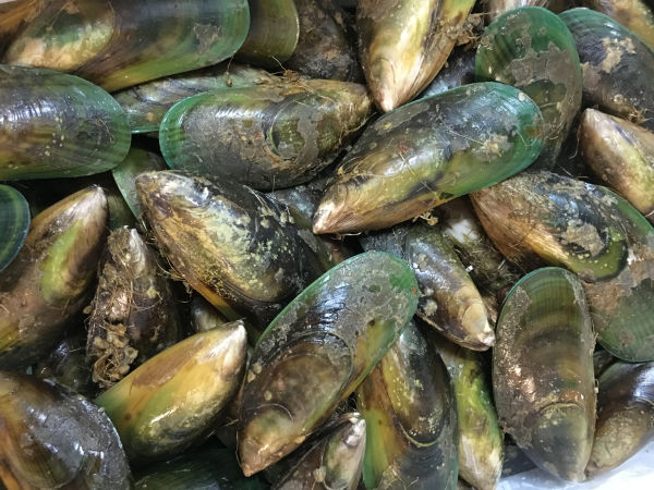 Green Shell Mussel Live