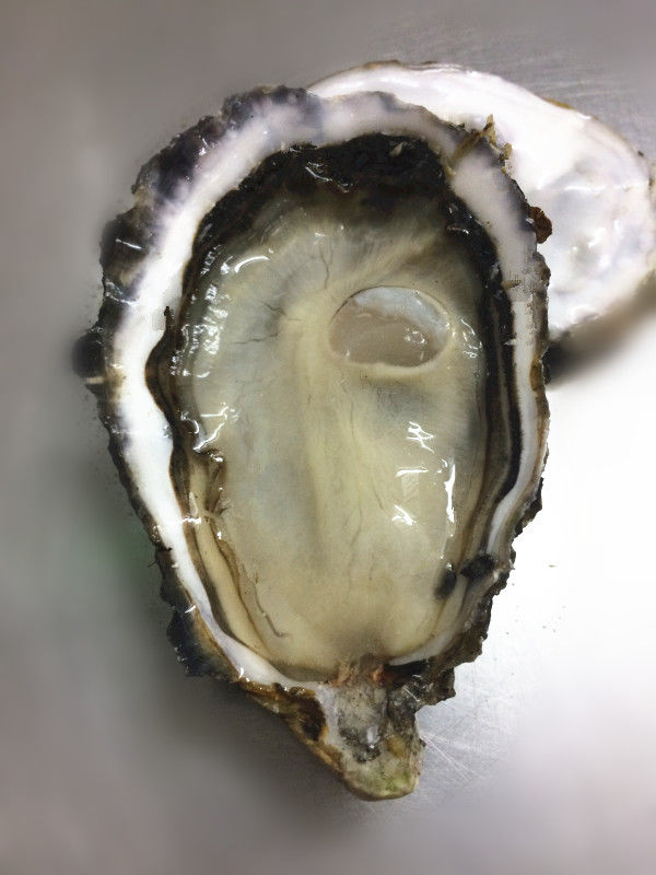 American Pearl Oyster