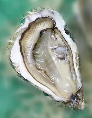 Special St Vaast Oyster